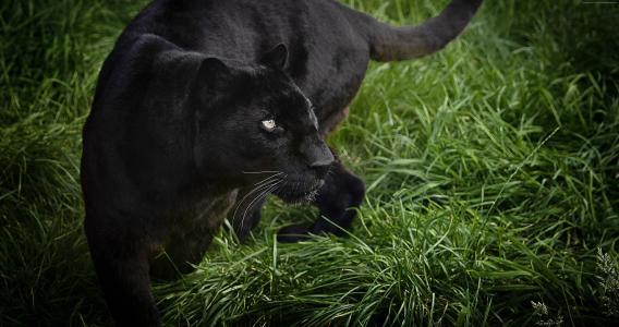 黑豹,黑色,4k(水平)