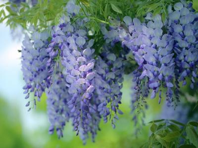 唯美的紫藤花瀑布