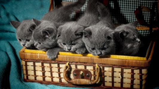 英国的猫,小猫,可爱的动物,搞笑,篮(水平)