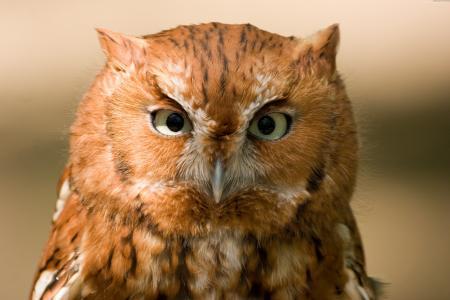 猫头鹰,东方尖叫声,5k,4k壁纸,红色,鸟,眼睛,绿色,关闭,性质(水平)