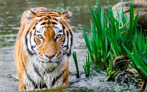 老虎在水中HD