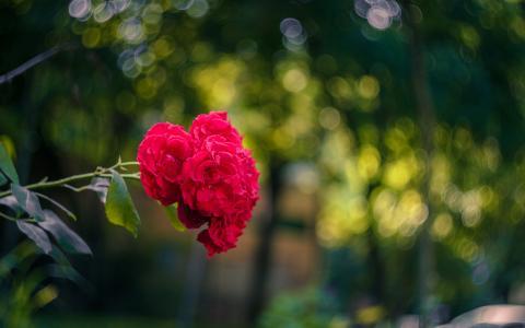 唯美玫瑰灿烂盛开