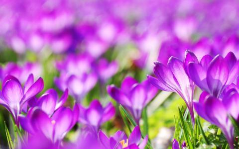 紫色番红花花