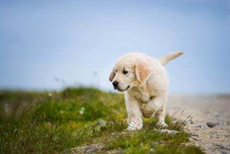 拉布拉多猎犬,小狗,狗,高清,4K