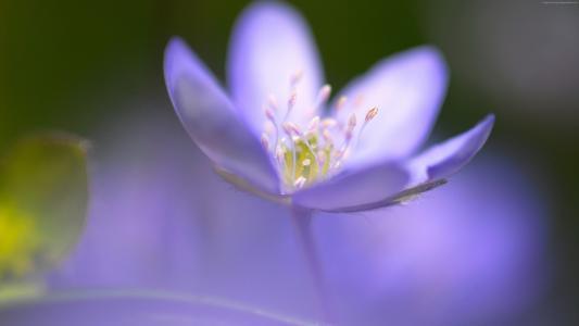 紫罗兰,5k,4k壁纸,花,宏(水平)