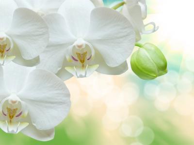 纯洁美丽的白色蝴蝶兰