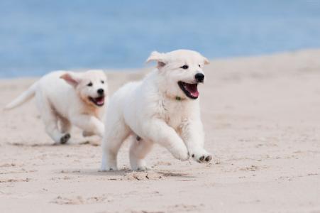 狗,小狗,白,动物,宠物,沙滩,沙,海(水平)