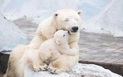 北极熊,Cub,4K