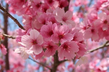 鲜艳亮丽的樱花