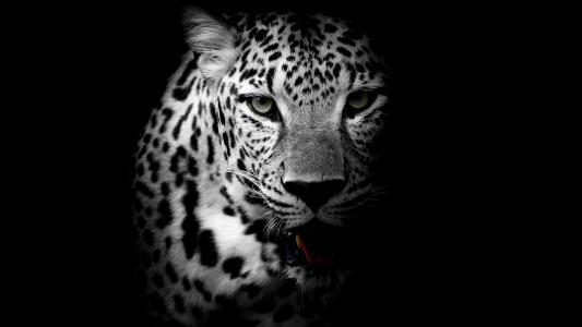 豹,黑暗的背景,高清,4 k