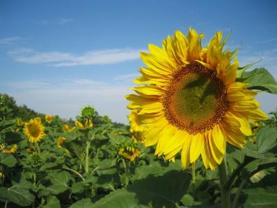 向日葵自然