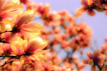 白玉兰,4k,高清壁纸,亚洲,春天,花(水平)