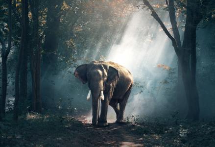 大象,森林,高清