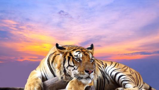 老虎,高清,4K