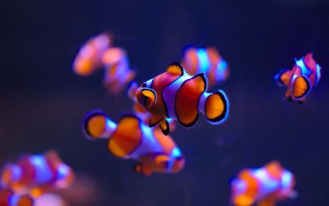 小丑鱼,海洋生物水族馆,深蓝色,奥克兰,4K