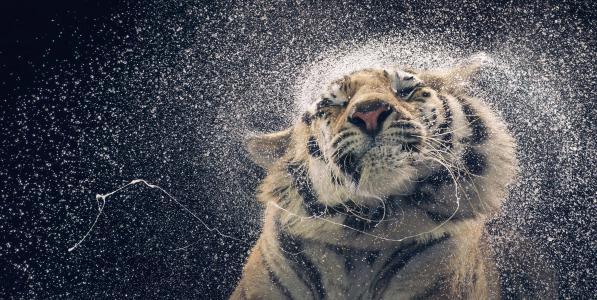 老虎,滴,可爱的动物,搞笑(水平)
