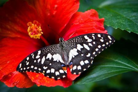 蝴蝶,黑白色,昆虫,鲜花,玻璃,自然,花园(水平)