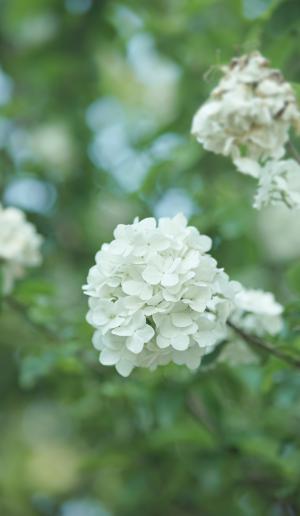优美迷人的绣球花