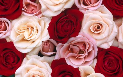 芬芳的玫瑰