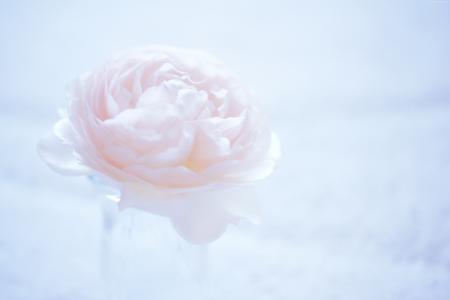 茶花,5k,4k壁纸,8k,花卉,粉红色(水平)