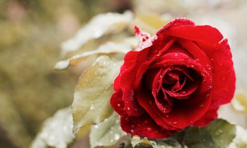 红玫瑰,飞沫,宏,高清