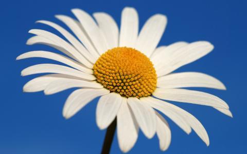 发光的白色雏菊