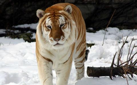 奇怪的雪虎