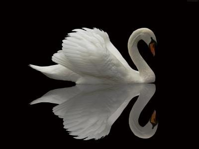 天鹅,反射,可爱的动物(水平)