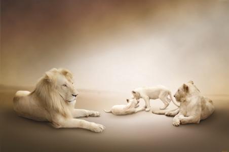 白狮子,狮子家庭,白色背景(水平)