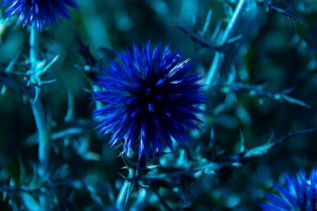 夏敦,5k,4k壁纸,8k,花卉,蓝色(水平)