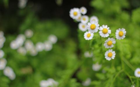 唯美清新的小菊花