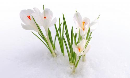番红花花,雪,4K
