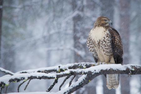 红尾鹰,高清,4K