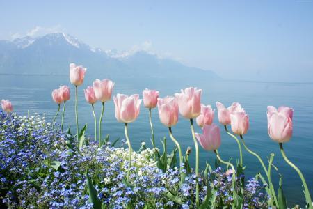 郁金香,4k,高清壁纸,春天的花朵,山(水平)