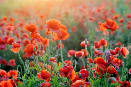 罂粟,橙色,夏天,阳光,4K