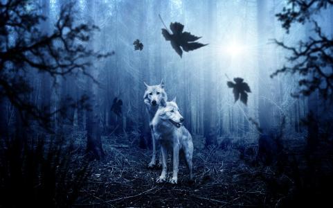 狼,森林,夜,高清,4 k