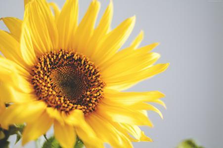 向日葵,5k,4k壁纸,黄色(水平)