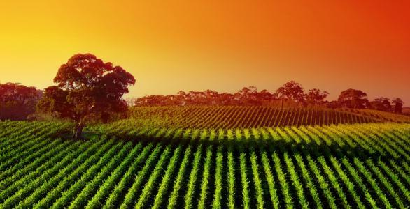 葡萄园,日落,农业,景观,4K