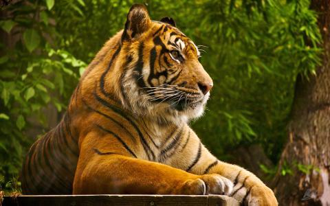 苏门答腊虎