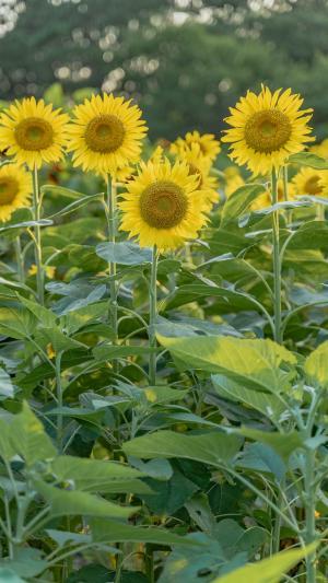 清新美丽的向日葵