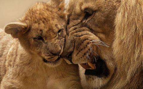 狮子母亲崽
