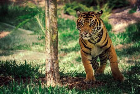 虎,稀树草原,可爱的动物(水平)