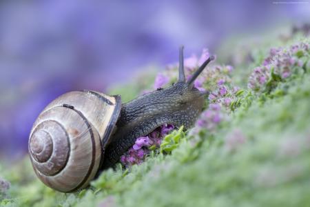 蜗牛,有趣的动物,紫色(水平)