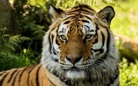 在达特穆尔动物园的弗拉基米尔西伯利亚老虎