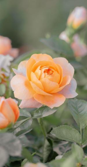 娇嫩迷人的玫瑰花