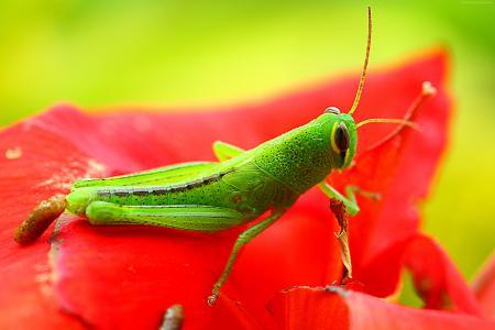 蚱蜢,格瑞格,绿色,花卉,红色,昆虫(水平)