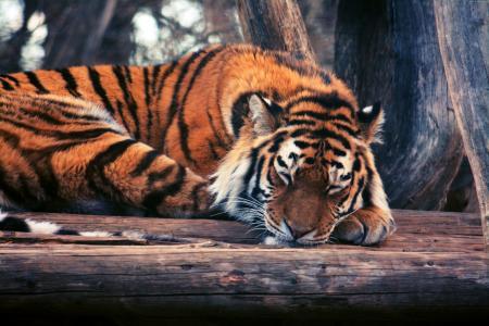 老虎,可爱的动物,搞笑(横向)
