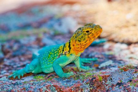 墨西哥,蜥蜴,多彩,石,自然,旅游(水平)