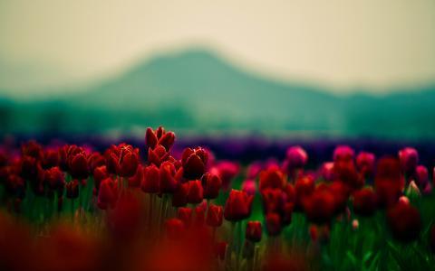 红色的花蕾