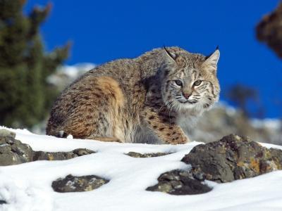 冷凝视山猫
